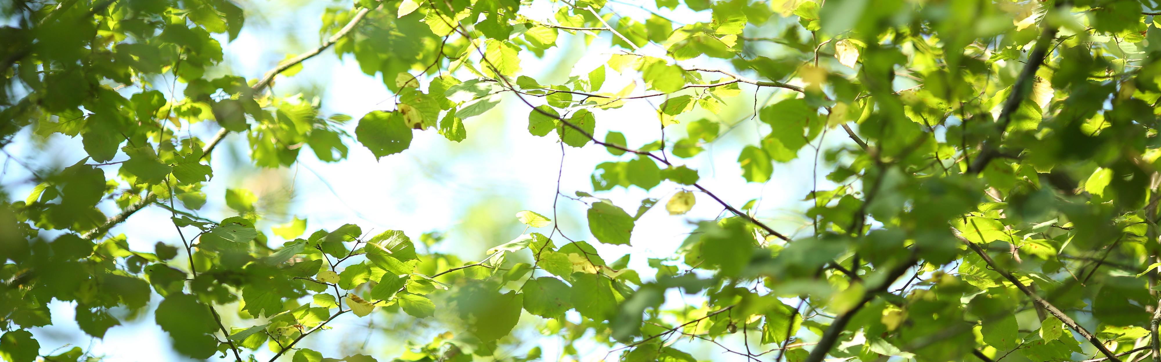 Puun oksat ja vihreät lehdet.