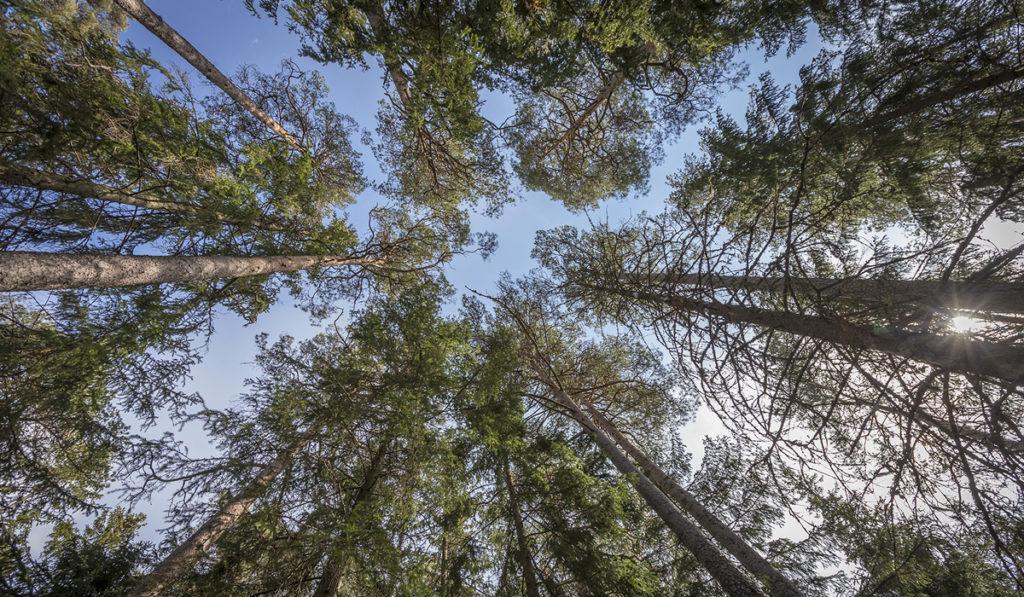 Puiden latvat ja taivas.