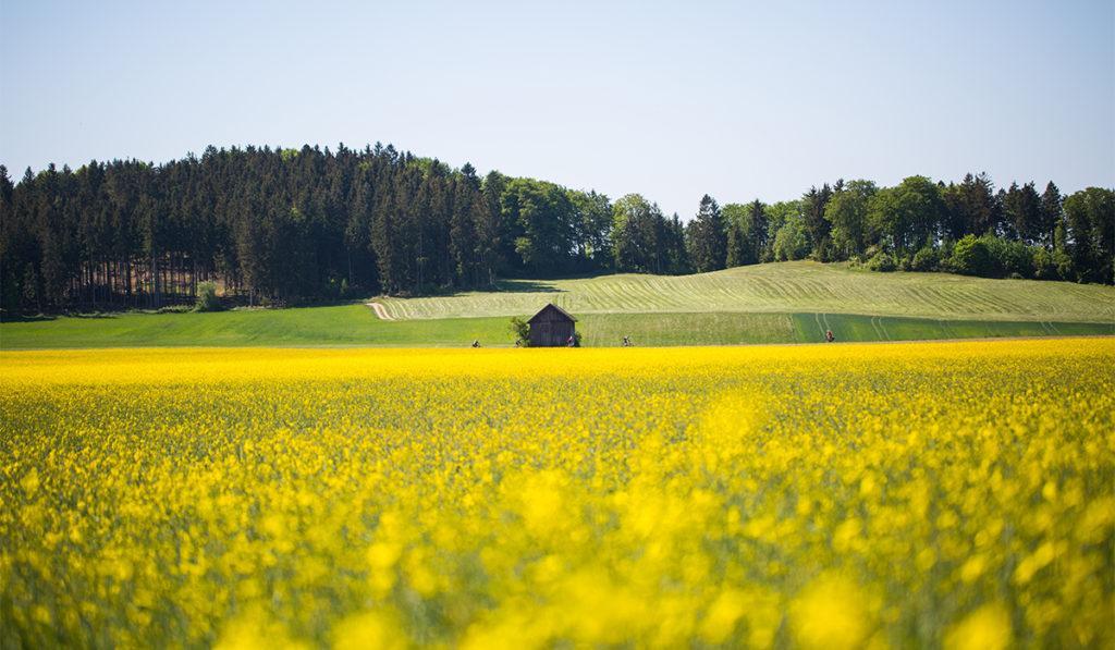 Vehreä pelto.