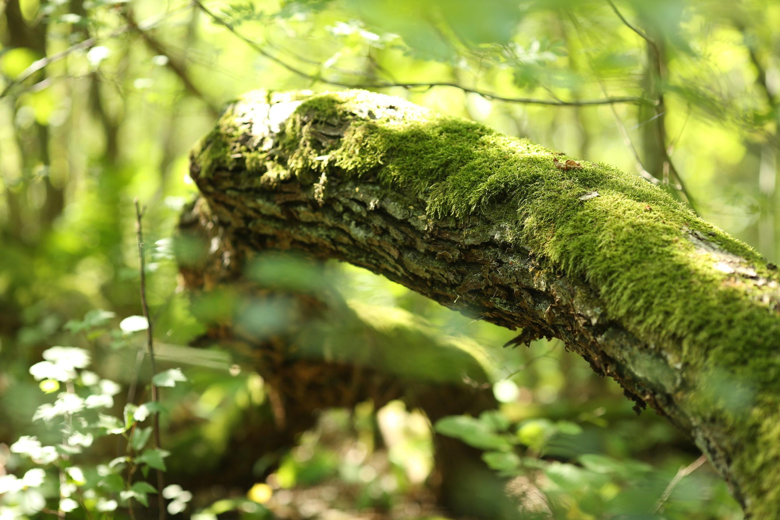 Sammaloitunut puunrunko vihreässä metsässä.