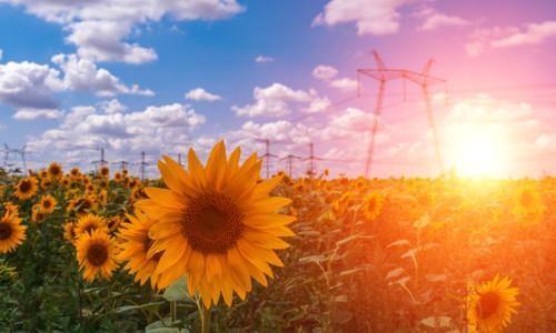 Auringonkukkia sähkölinjan alla.